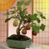 Bán hạt giống Sung Mỹ ngọt trồng bon sai 8tháng thu hoạch