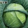 Bán hạt giống bắp cải sakara f1