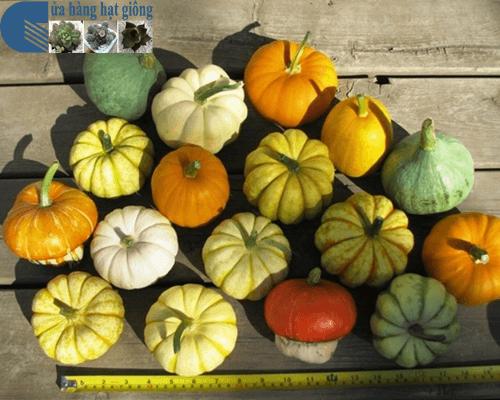 Cửa hàng Bán hạt giống bí ngô mini mix nhiều màu