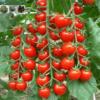 Cửa hàng bán hạt giống cà chua bi chùm đỏ cây cao