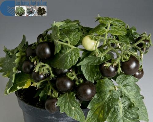 Cửa hàng Bán hạt giống cà chua bi đen