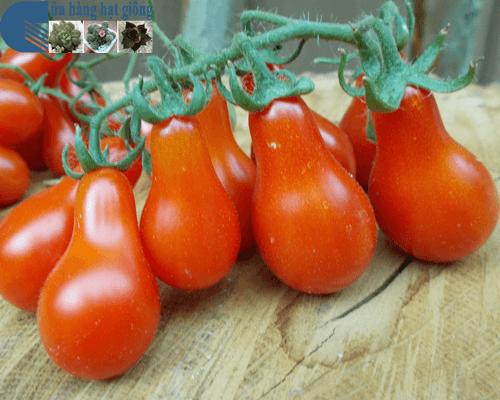 Cửa hàng bán hạt giống cà chua bi quả lê đỏ