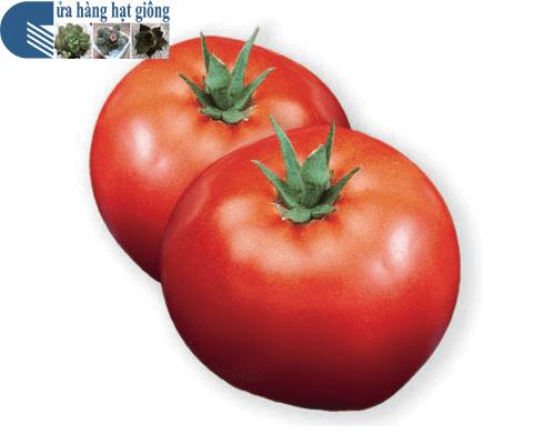 Cửa hàng bán hạt giống cà chua đỏ chịu nhiệt