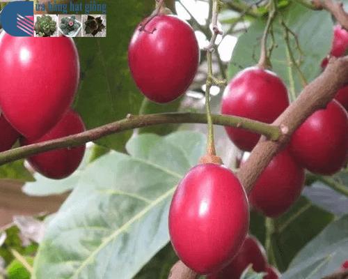 Cách gieo trồng cà chua thân gỗ