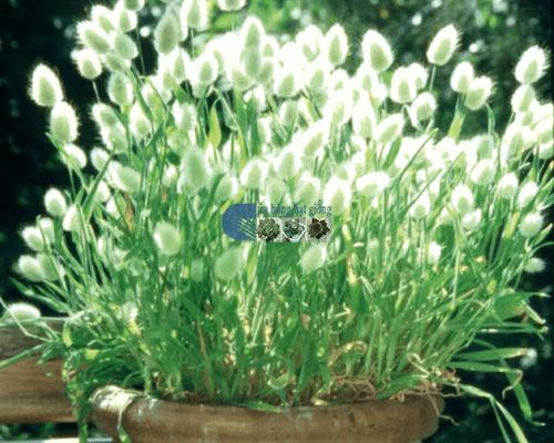Bán hạt giống cây cỏ đuôi thỏ