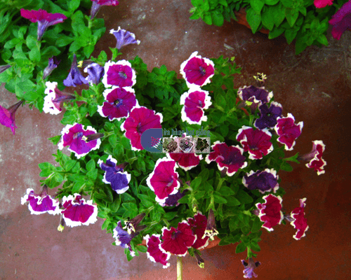 Cửa hàng bán hạt giống hoa dạ yến thảo viền mix