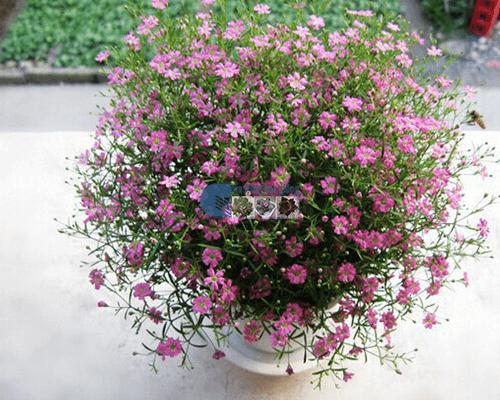 Bán hạt giống hoa baby hồng