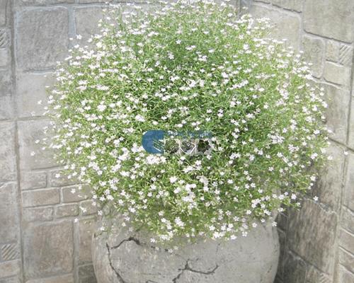 Cách trồng hoa Baby