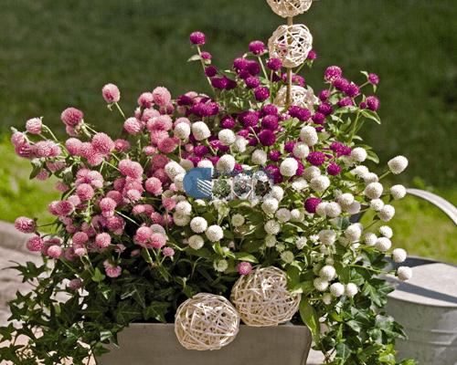 Cửa hàng Bán hạt giống hoa cúc bách nhật mix