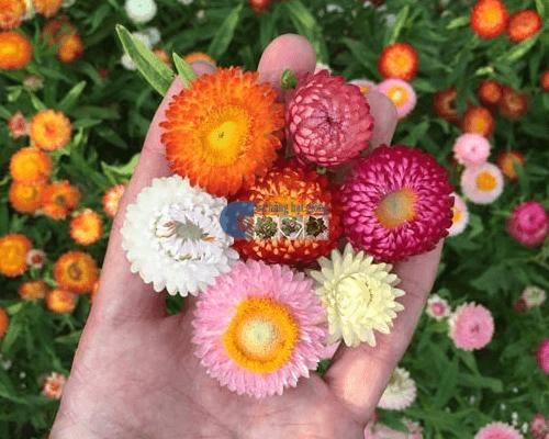 Cửa hàng Bán hạt giống hoa cúc bất tử mix