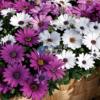 Cửa hàng Bán hạt giống hoa cúc châu phi mix