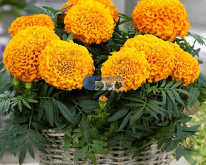 Cách trồng hoa vạn thọ