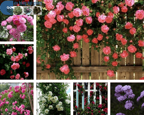 Cửa hàng bán hạt giống hoa hồng leo pháp
