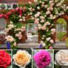 Bán hạt giống hoa hồng leo pháp mix