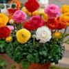 Cửa hàng bán hạt giống hoa hồng ri ba tư mix