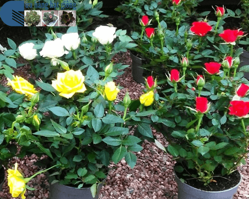 Cửa hàng bán hạt giống hoa hồng tỉ muội Mỹ Đình