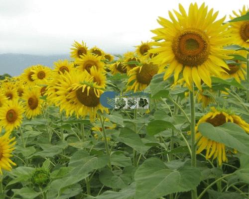 Cửa hàng Bán hạt giống hoa hướng dương vàng cao