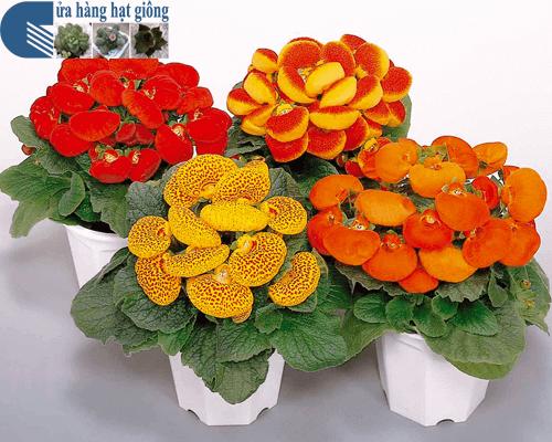 Bán hạt giống hoa huyền sâm nhiều màu