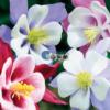 Cửa hàng Bán hạt giống hoa chuông bồ câu