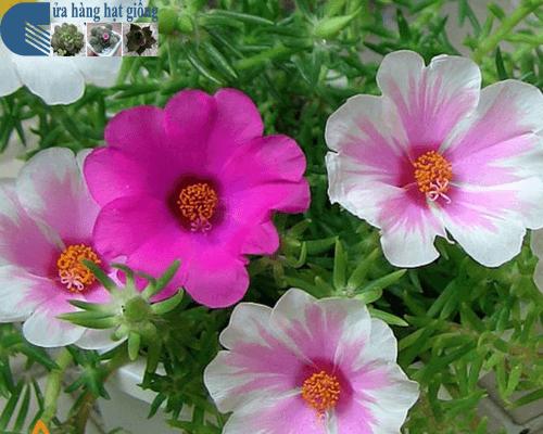 Bạn có tin hoa mười giờ có thể chữa ghẻ, lở, ngứa hiệu quả