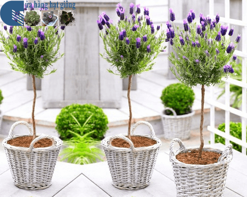 Ý nghĩa hoa oải hương