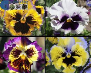 Cách trồng hoa Pansy