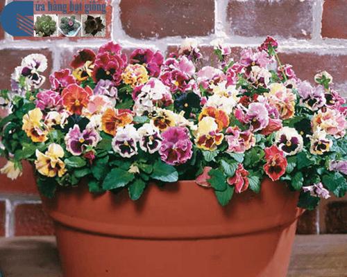 Cửa hàng bán hạt giống hoa pansy kép mix