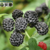 Bán hạt giống quả mâm xôi đen