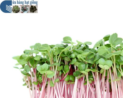 Biện pháp phòng chống bệnh hại trên cây rau mầm