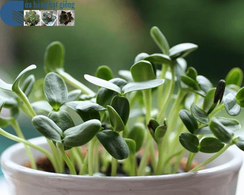 Một số lưu ý khi chăm sóc và thu hoạch rau mầm