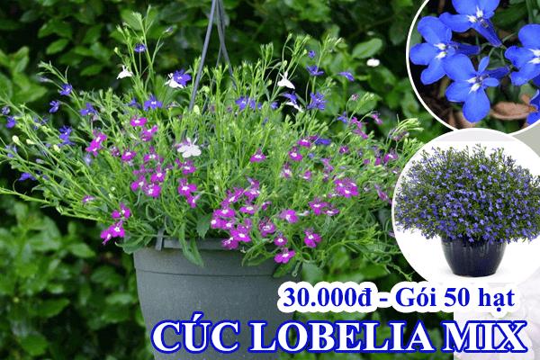 Hạt giống hoa cúc lobelia nhiều màu Cửa hàng hạt giống Mỹ Đình