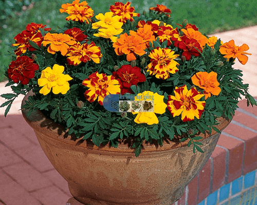 Cách chăm sóc hoa vạn thọ