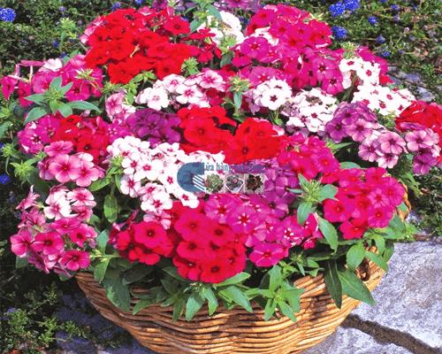 Cửa hàng bán hạt giống hoa thanh trúc mix
