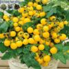 Cửa hàng bán hạt giống cà chua bi vàng lùn