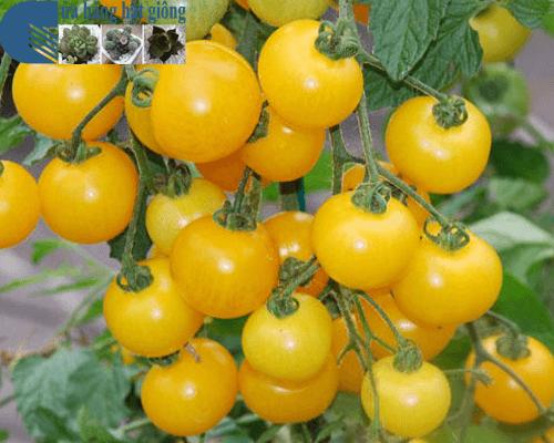 Cửa hàng bán hạt giống cà chua bi vàng leo