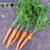 Cửa hàng bán hạt giống cà rốt tí hon