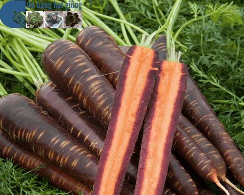 Cửa hàng bán hạt giống cà rốt tím lai F1