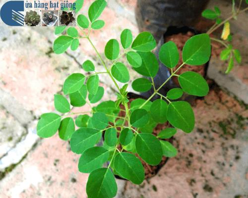 Cách trồng cây chùm ngây tại nhà