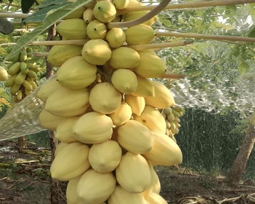 Cửa hàng bán hạt giống đủ đủ vàng lùn siêu quả