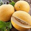 Cửa hàng bán hạt giống dưa lưới melo tròn