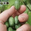 Cửa hàng bán hạt giống dưa hấu mini