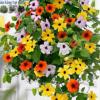 Cửa hàng bán hạt giống hoa ánh dương leo mix