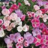 Cửa hàng bán hạt giống hoa hồng xuân mix