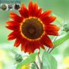 Tìm hiểu về hoa hướng dương