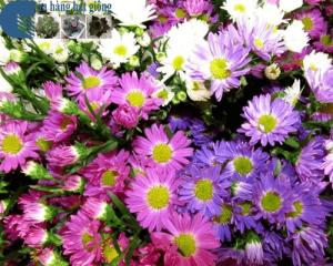 Cách trồng hoa thạch thảo