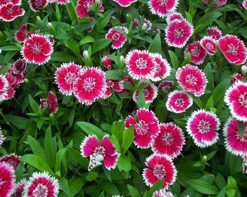 Các loại hạt giống hoa dễ trồng