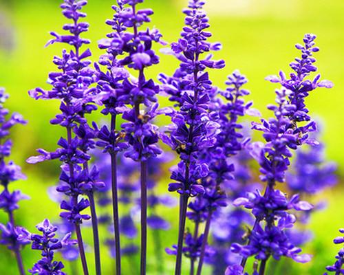 Cách chăm sóc hoa oải hương