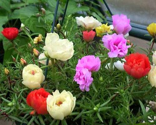 Hướng dẫn thu hoạch hoa mười giờ Mỹ