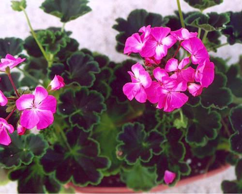 Một số hạt giống hoa đẹp dễ trồng nở quanh năm