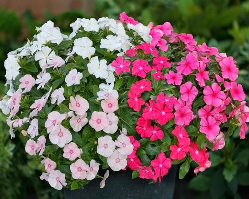 Tìm hiểu về hoa dừa cạn rủ